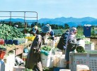 Piece of India: Sikh farmhands harvest broccoli in Abbotsford